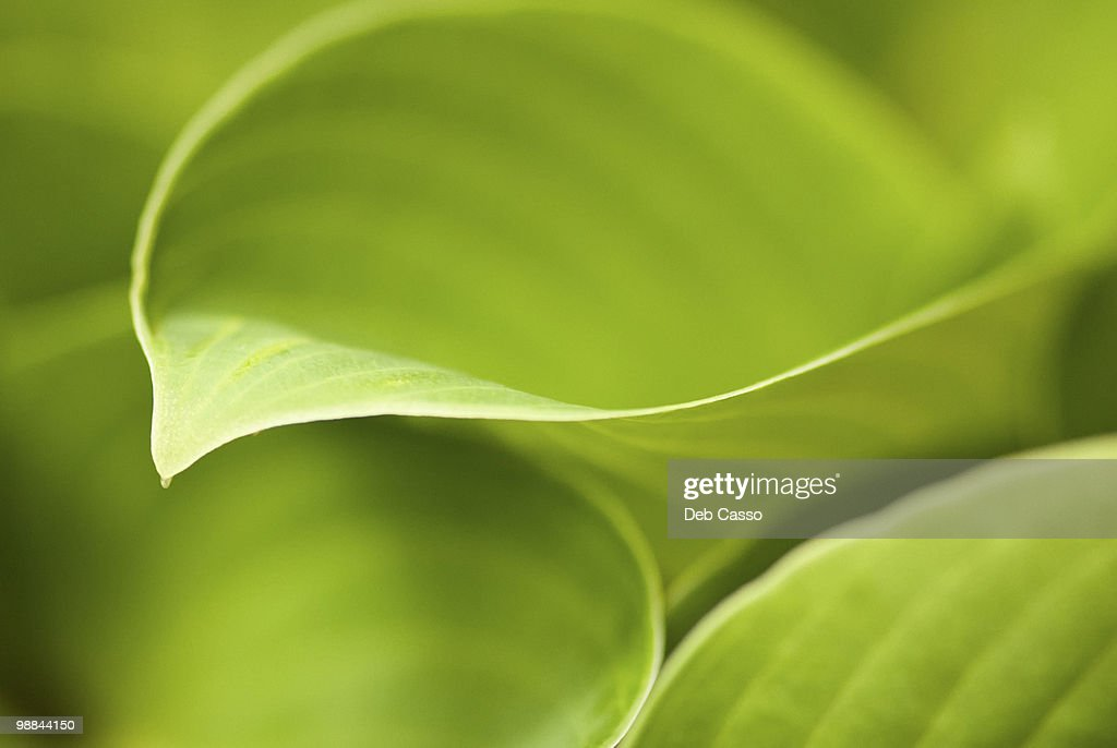 Close up of green hosta leaf : Stock Photo