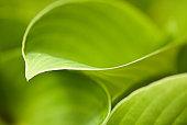 Close up of green hosta leaf