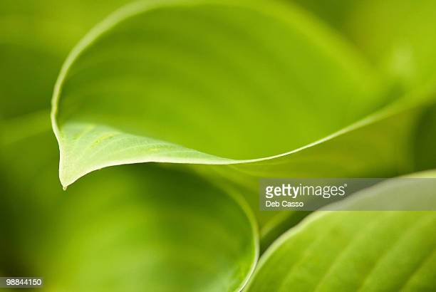 Close up of green hosta leaf