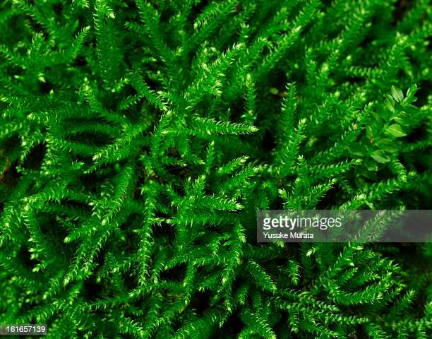 Close up of green moss