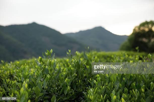 Close up of green tea leaves growing on the Longjing tea plantation in Hangzhou,China