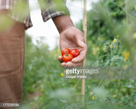 Close up of hand holding tomatoes.