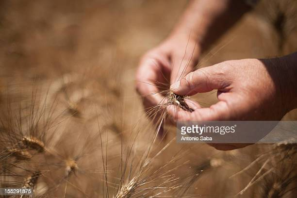 Close up of hands examining wheat stalks