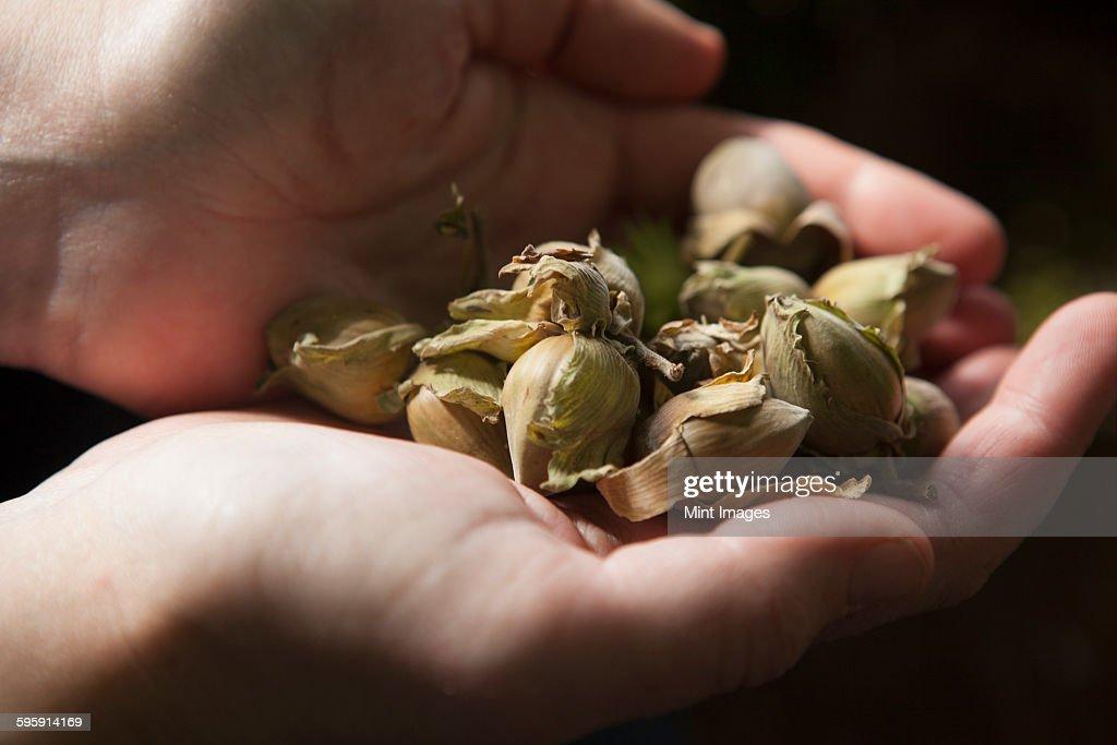 Close up of hands full of fresh hazelnuts.