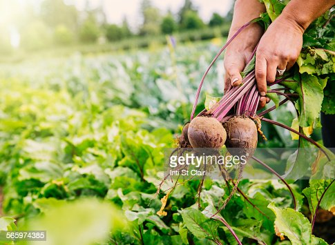 Close up of hands harvesting beets in farm field