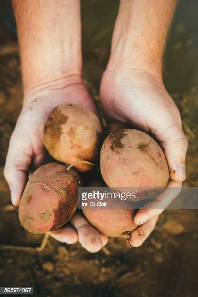 Close up of hands holding harvested potatoes