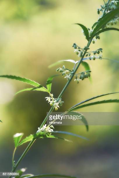 Close up of hemp (cannabis) growing  plant