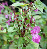 A close up of Himalayan balsam flowers and seedpods growing in wetland near a river with raindrops