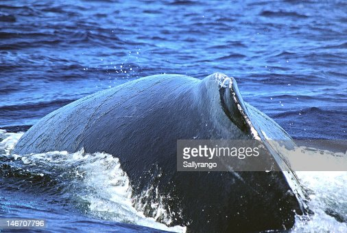 Close up of Humpback whale : Stock Photo