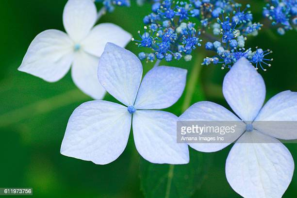Close up of hydrangea flowers, differential focus