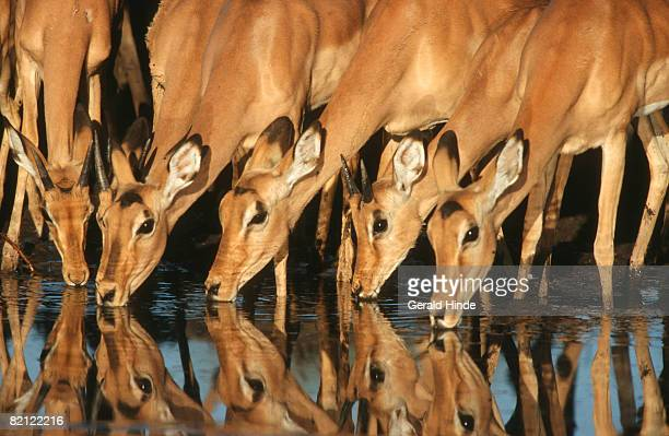 Close up of Impala (Aepyceros melampus) herd drinking at waterhole. Moremi Wildlife Reserve, Botswana.