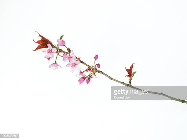 Close up of Japanese Cherry Blossoms
