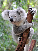 A puzzled koala grasps a thin, brown and broken branch while looking curiously into the distance in the Lone Pine Koala Sanctuary in Australia.  There are trees in the background.