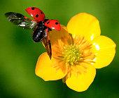 Close up of ladybug taking off yellow flower
