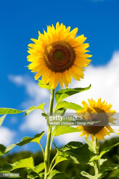 Close up of large sunflower (Helianthus) in a field with blue sky and clouds in the background
