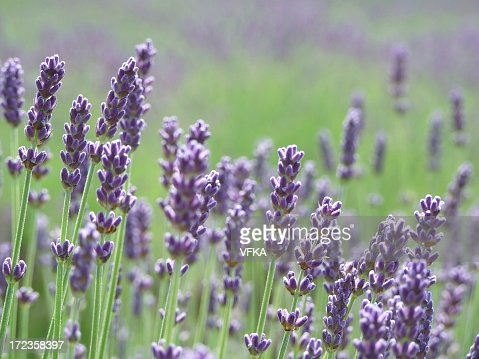 Close up of lavender in a large field