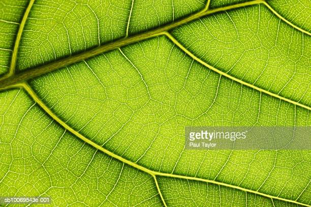 Close up of leaf (Ficus lyrata), studio shot