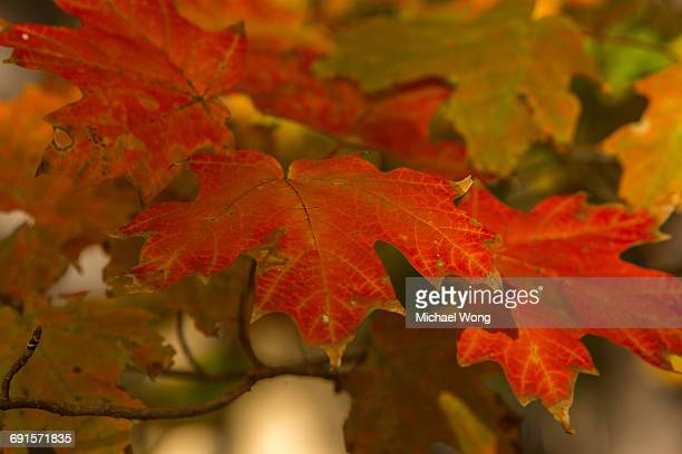Close Up of leaves turning color in Fall