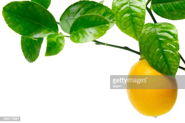Close up of lemon hanging from tree against white background