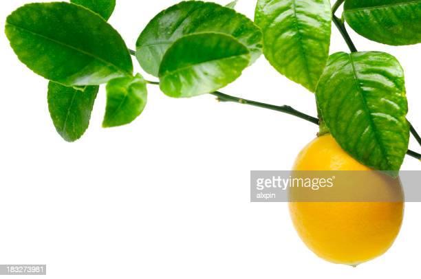 Citron sur tree