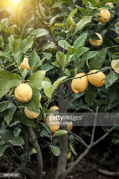 Close up of lemon tree in Chieti, Abruzzo, Italy