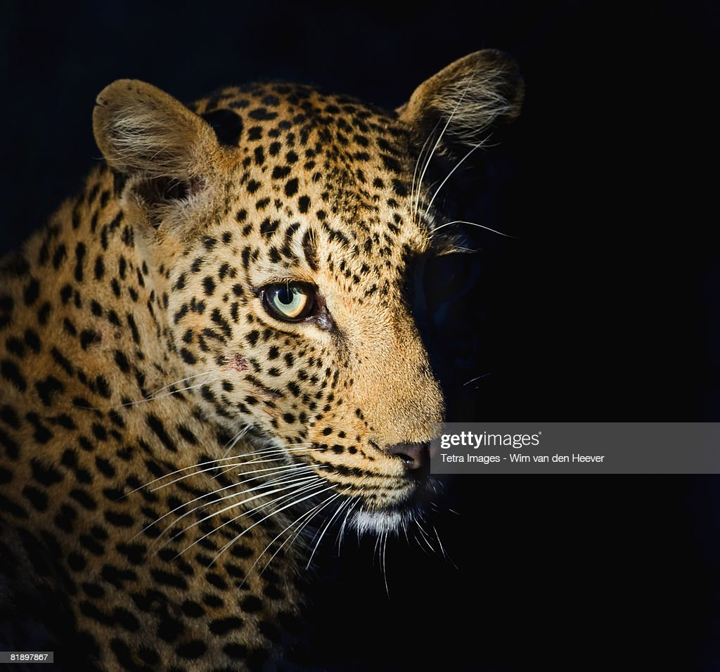 Close up of Leopard, Greater Kruger National Park, South Africa : Stock Photo