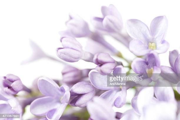 close up of lilac blooms in high-key effect