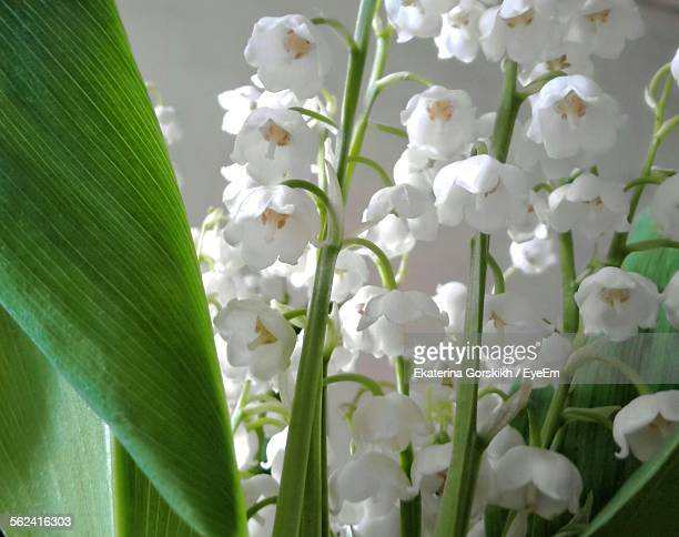 Close Up Of Lily Of The Valley Flowers