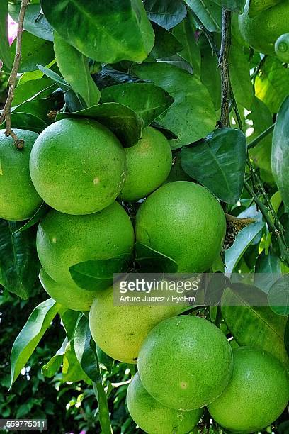 Close Up Of Limes On Tree