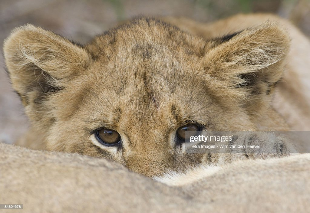 Close up of lion cub's face : Stock Photo