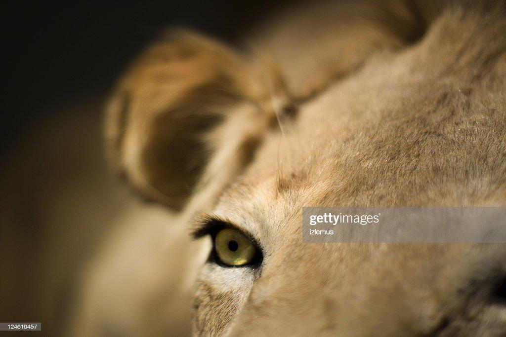 Close up of lion eye. : Stock Photo