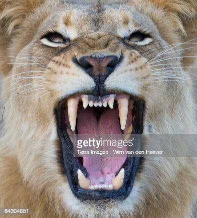 Close up of lion growling : Stock Photo