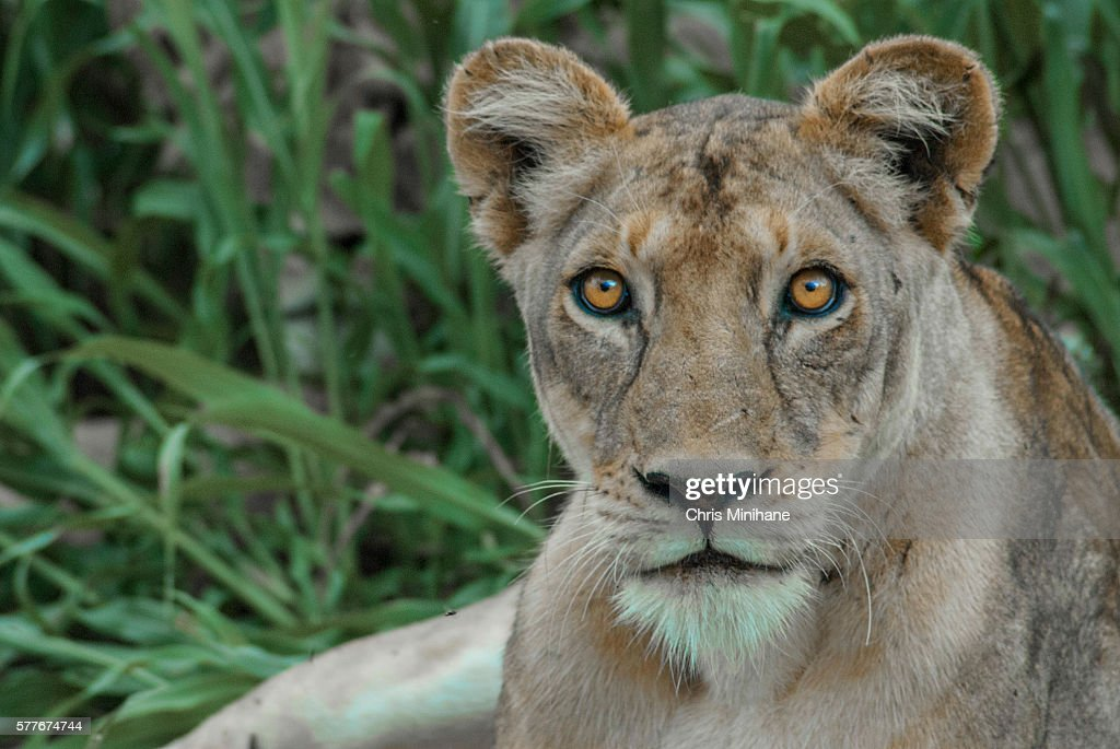 Close up of Lion Stock Photo