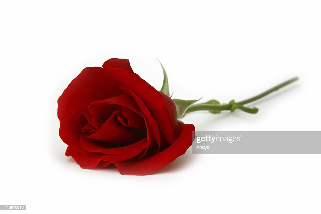 Close up of long stemmed red rose lying on white background