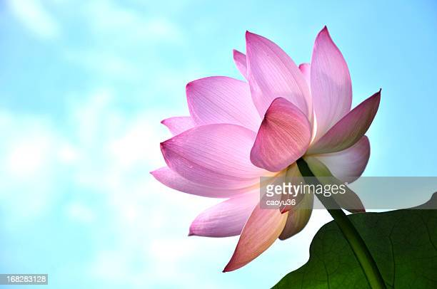 Close up of lotus flower head
