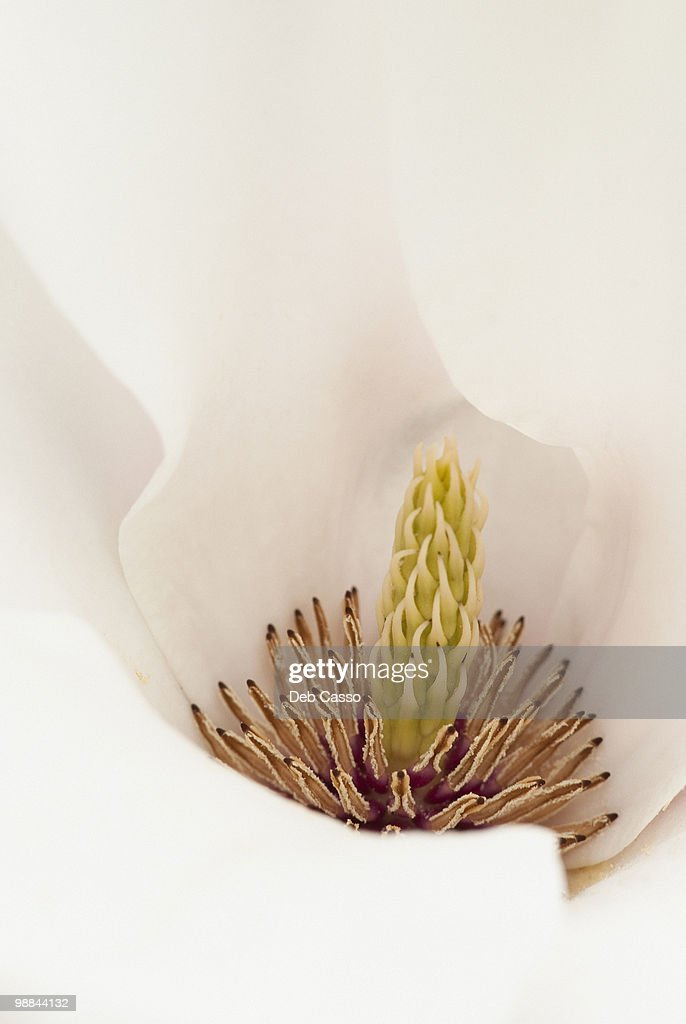 Close up of magnolia : Stock Photo