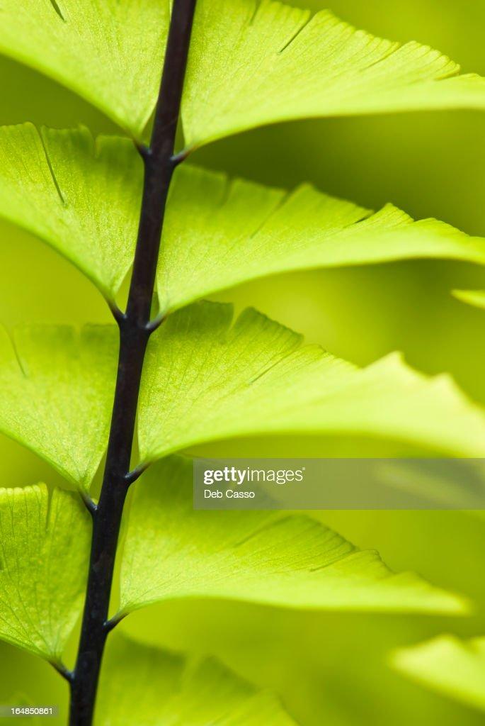 Close up of maidenhair fern stalk : Stock Photo