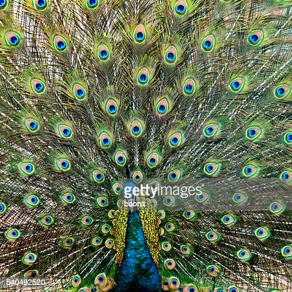 Close up of male peacock with feathers out