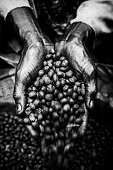 Close up of man cupping coffee beans, Ethiopia