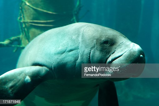 Close up of manatee swimming making sad face