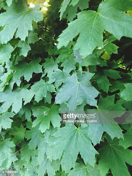 Close up of maple leaves