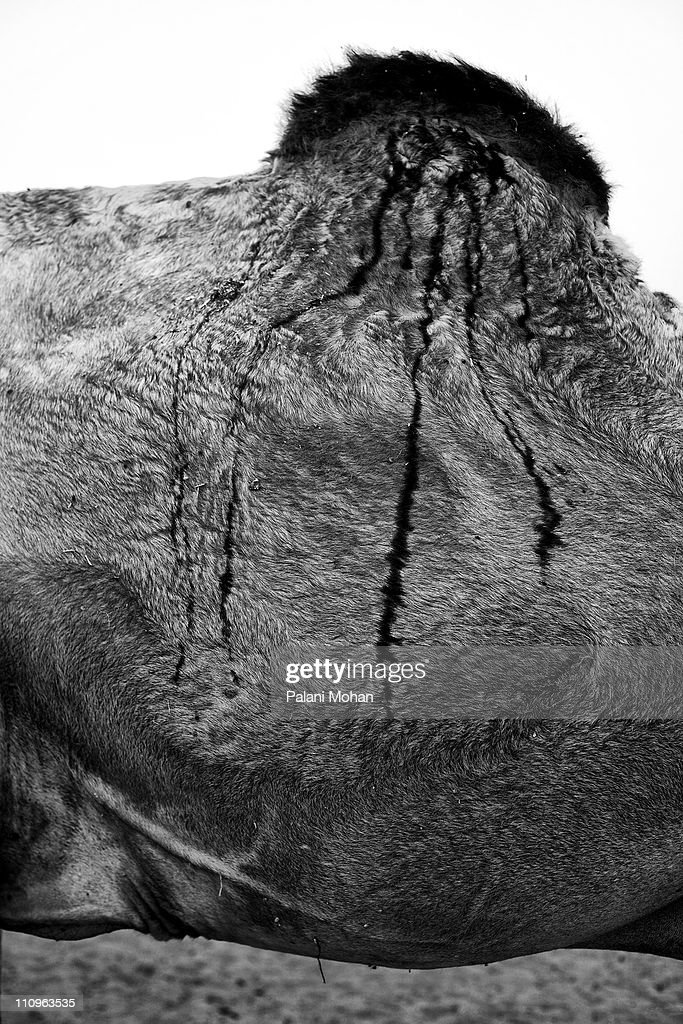 A close up of markings on the fur on a camel's body at the Pushkar camel fair on November 1 in Pushkar India Pushkar is the largest camel fair in the...