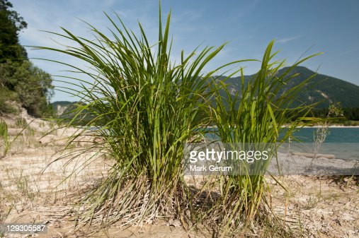 Close up of marram grass on beach with mountain range in background
