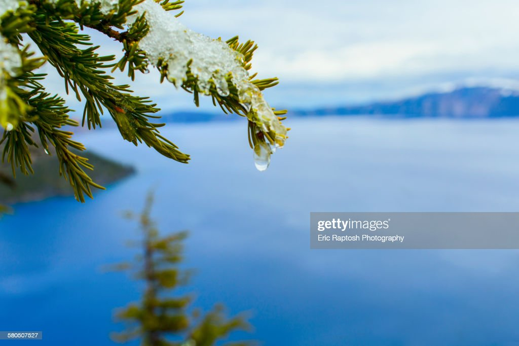 Close up of melting snow on tree branch over Crater Lake, Oregon, United States : Stock Photo
