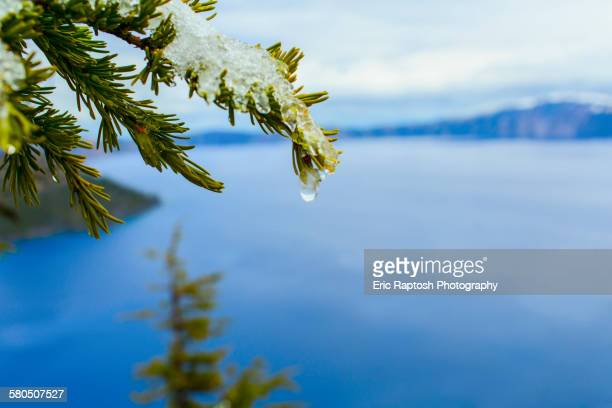 Close up of melting snow on tree branch over Crater Lake, Oregon, United States