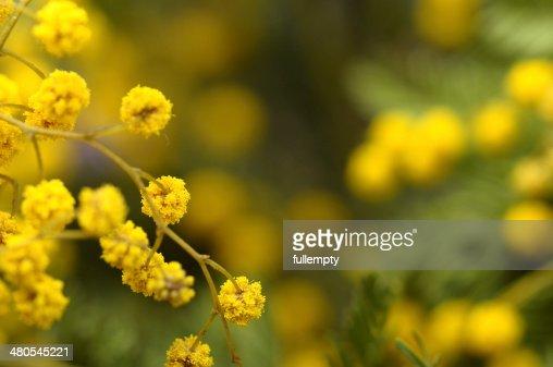 Primer plano de Flores mimosa : Foto de stock