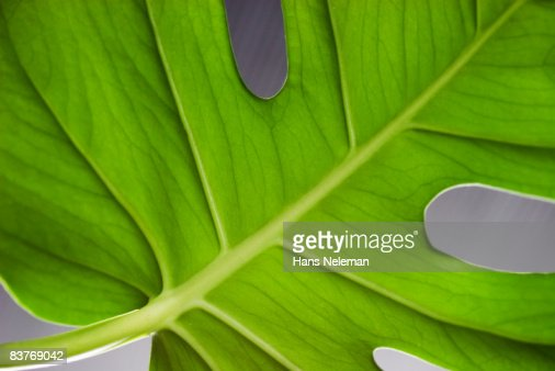 Close up of monstera's leaf : Stock Photo