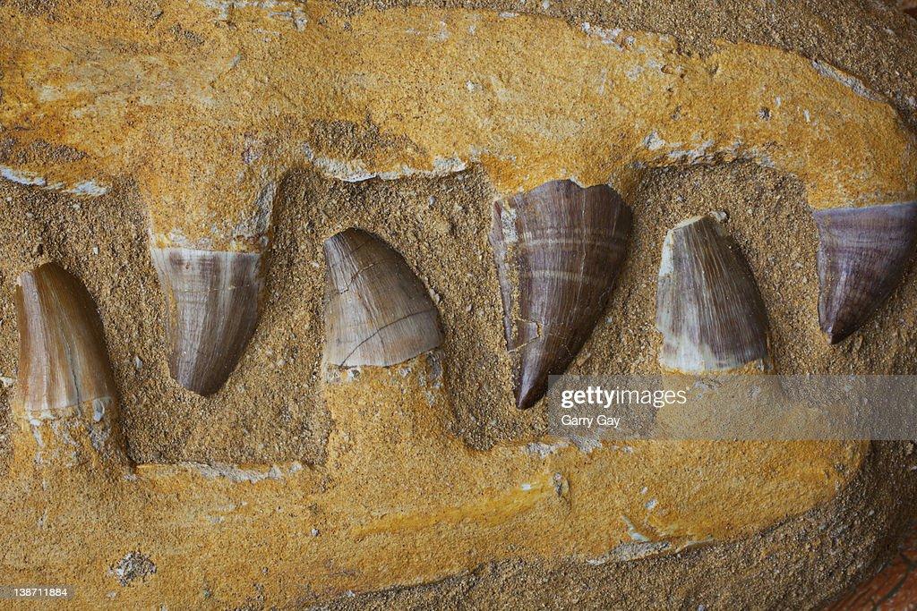 Close up of Mosasauras teeth : Stock Photo