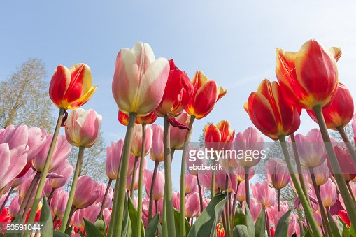 Close up of multi colored tulips : Stock Photo