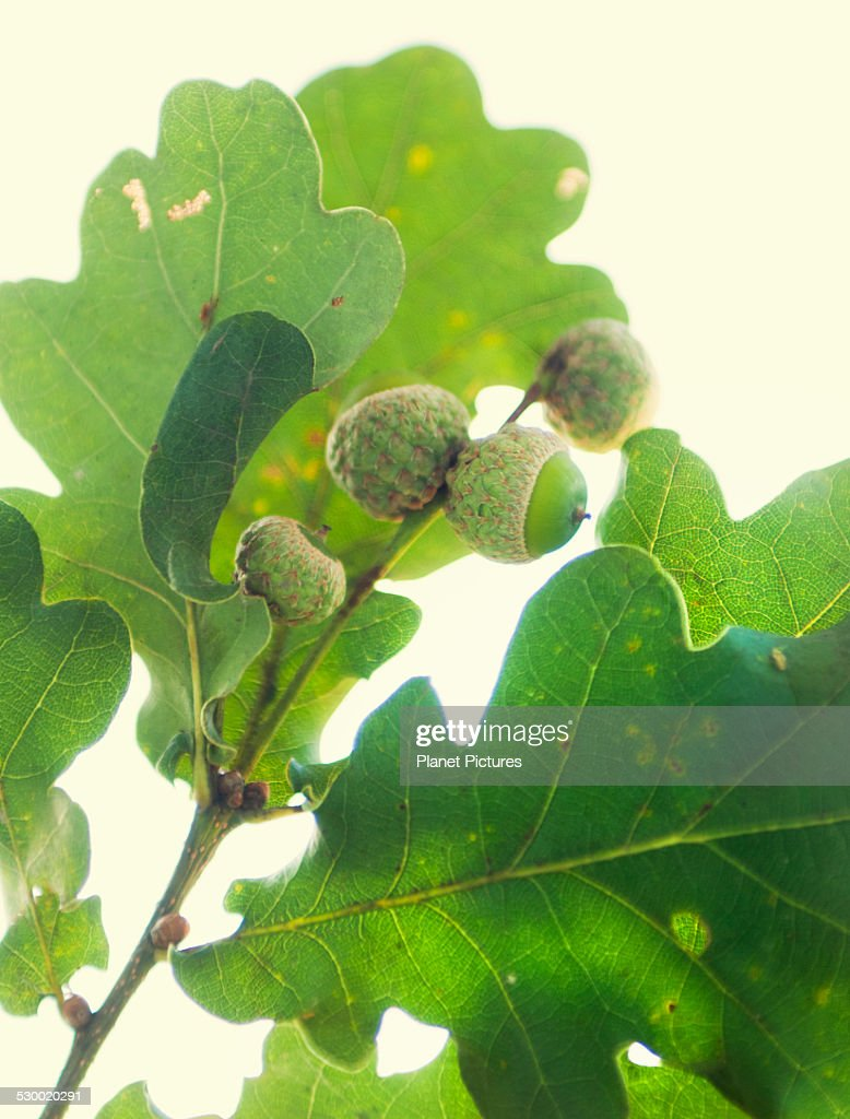 close up of oak leaves and acorns stock photo getty images